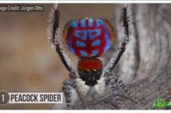 バク転するクモからそっくりさんまで 近年見つかったアメージングなスパイダーたち