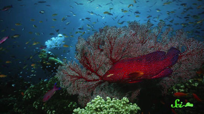 衝撃の事実 サンゴ礁が美しいのは、魚たちの「ピー」のおかげだった