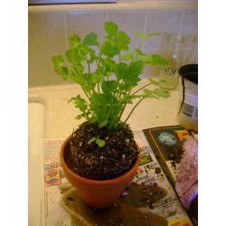 Small Crop Of Growing Cilantro Indoors