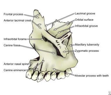 Facial Bone Anatomy Overview, Mandible, Maxilla