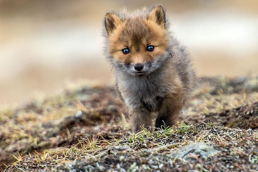 保护野生狐狸动物不想变成你的衣服