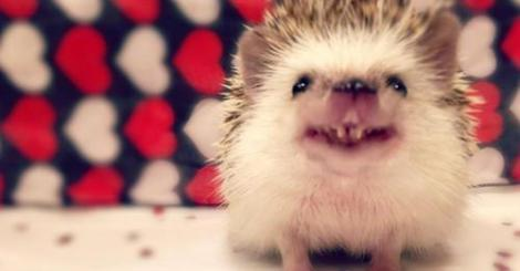 【寵物】會笑的刺蝟!牠超萌兩顆牙讓你心裏蹦小花!