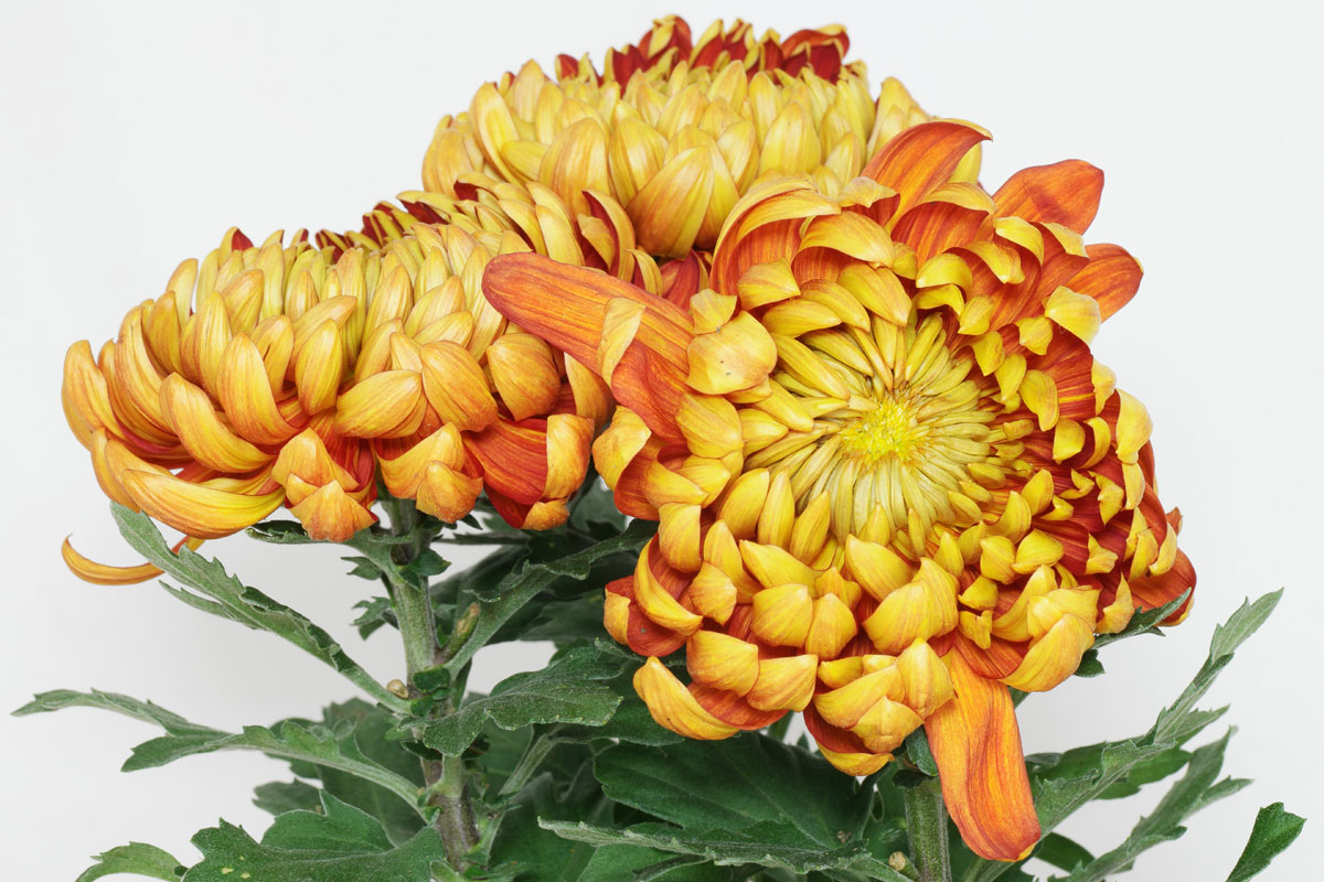 Chrysanthemum Indicum Winterhart Chrysanthemum Cv
