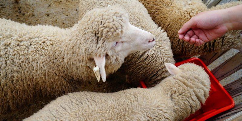 【遊記*南投】清境。最高療癒系~青青草原綿羊秀、綿羊城堡 櫻花開摟!