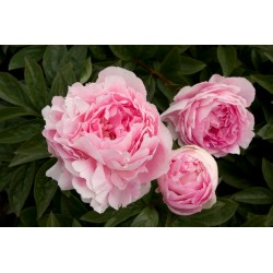 Small Crop Of When To Transplant Peonies