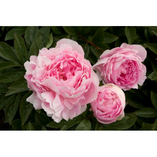 Medium Crop Of When To Transplant Peonies