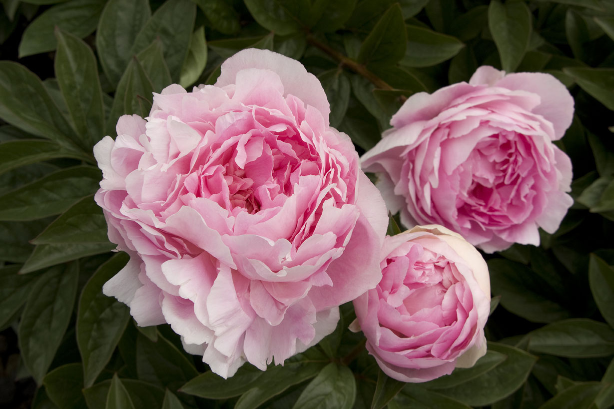 Pianese Flowers How To Grow Peonies Sunset Magazine