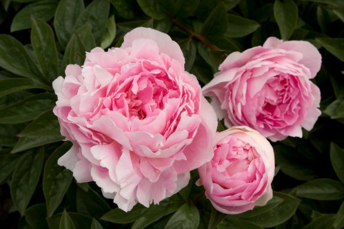 Medium Of When To Transplant Peonies