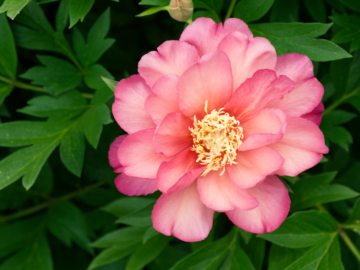 Pianese Flowers Perfect Peonies 29 Picks And Growing Guide Sunset Magazine