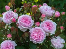Small Of How To Deadhead Roses