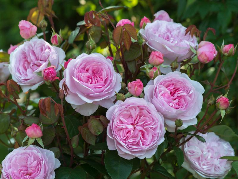 Large Of How To Deadhead Roses