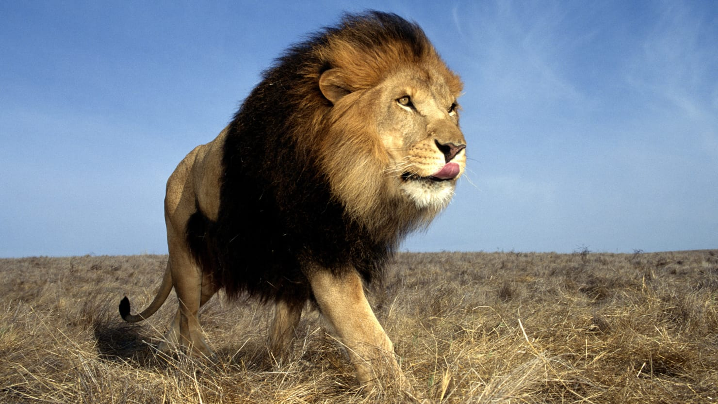 King Crown Hd Wallpaper African Lions Born Free No Born Captive To Be Killed
