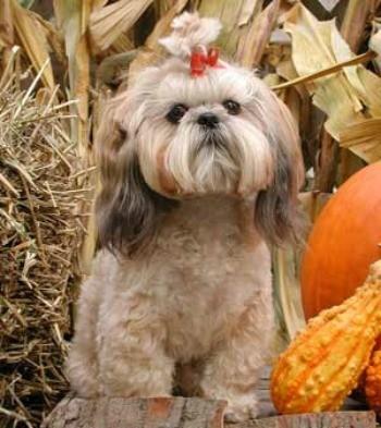 Shih Tzu Breed Information and Photos | ThriftyFun