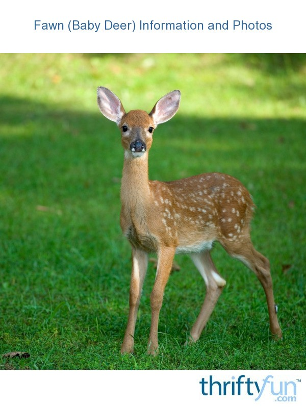 Fawn (Baby Deer) Information and Photos ThriftyFun