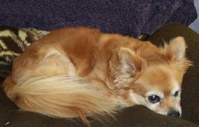 Chihuahua Pomeranian Mix Breed Photos Thriftyfun