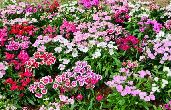 Growing Dianthus Thriftyfun