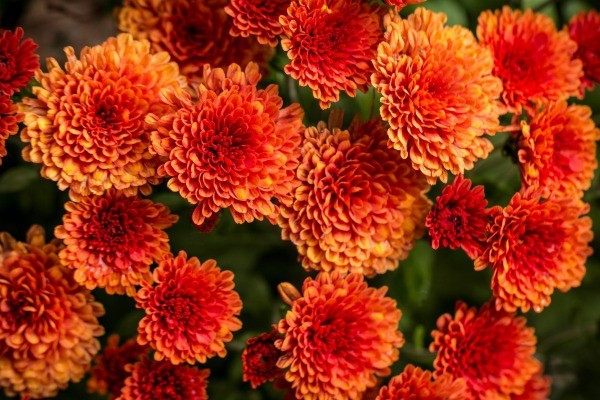 Pinterest Wallpapers Fall Choosing Fall Flowers And Plants Thriftyfun