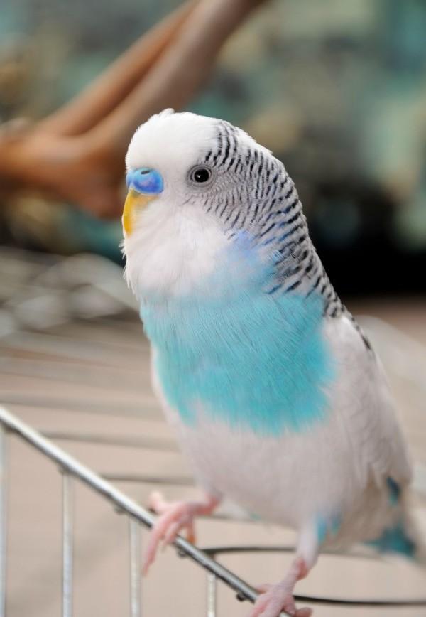 Cute Parakeet Wallpaper Budgie Keeps Laying Eggs Thriftyfun
