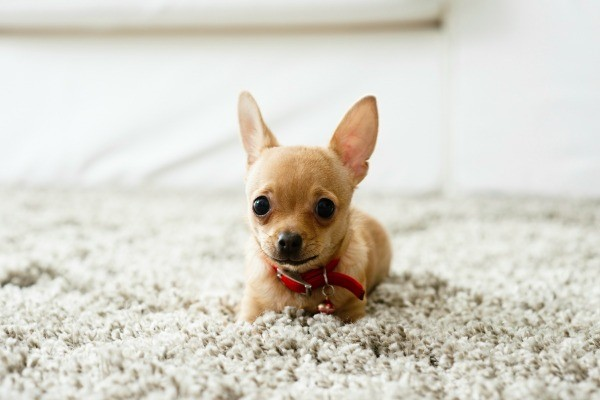 Cleaning Dog Urine Odors From Carpet Thriftyfun