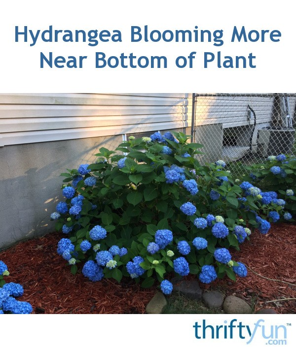 Hydrangea Didn't Flower This Year Hydrangea Blooming More Near Bottom Of Plant | Thriftyfun