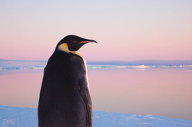 Global Warming Threatens Penguins - Photo Essays - TIME