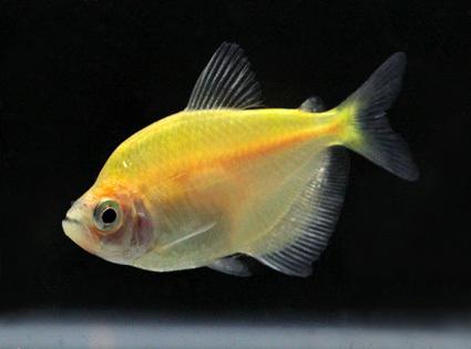 Freshwater Tetras Fish in Bangkok, Bangkok, Thailand   bangkok aqua