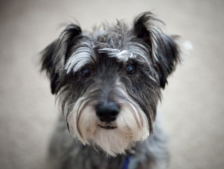 Cute Girly Summer Wallpapers Gray And White Standard Schnauzer Wallpapers Every Day