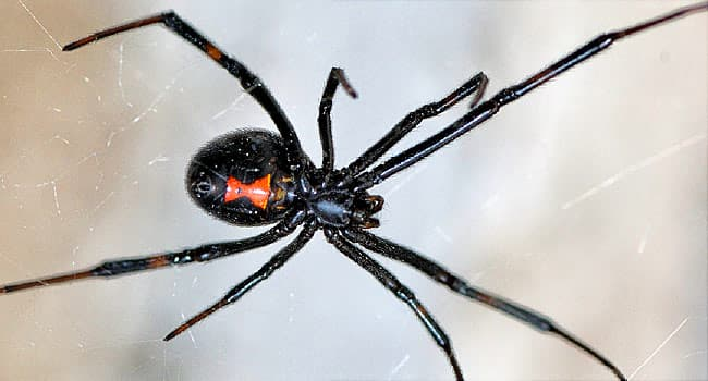 Spider Bites Pictures To Identify Spiders And Their Bites