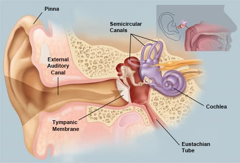 The external and middle ear conduct and transform sound 2