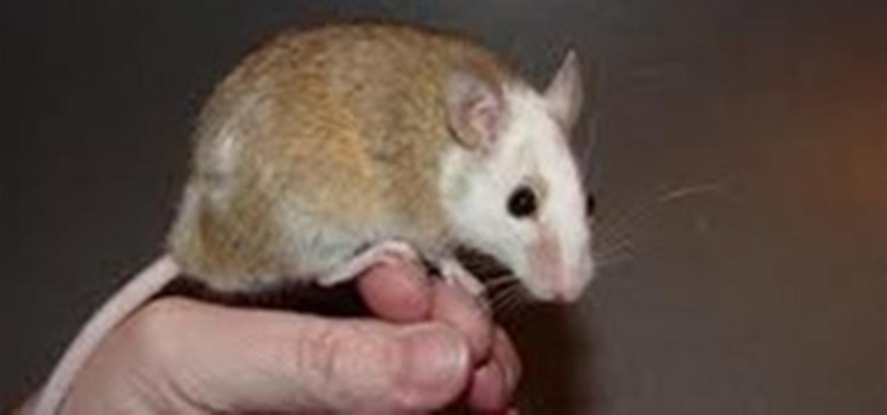 The Soft Fur Rat « Pet  WonderHowTo