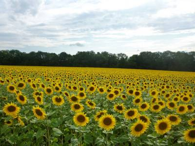 Sunflower Graphy Sunflower Wallpapers Natures Colors
