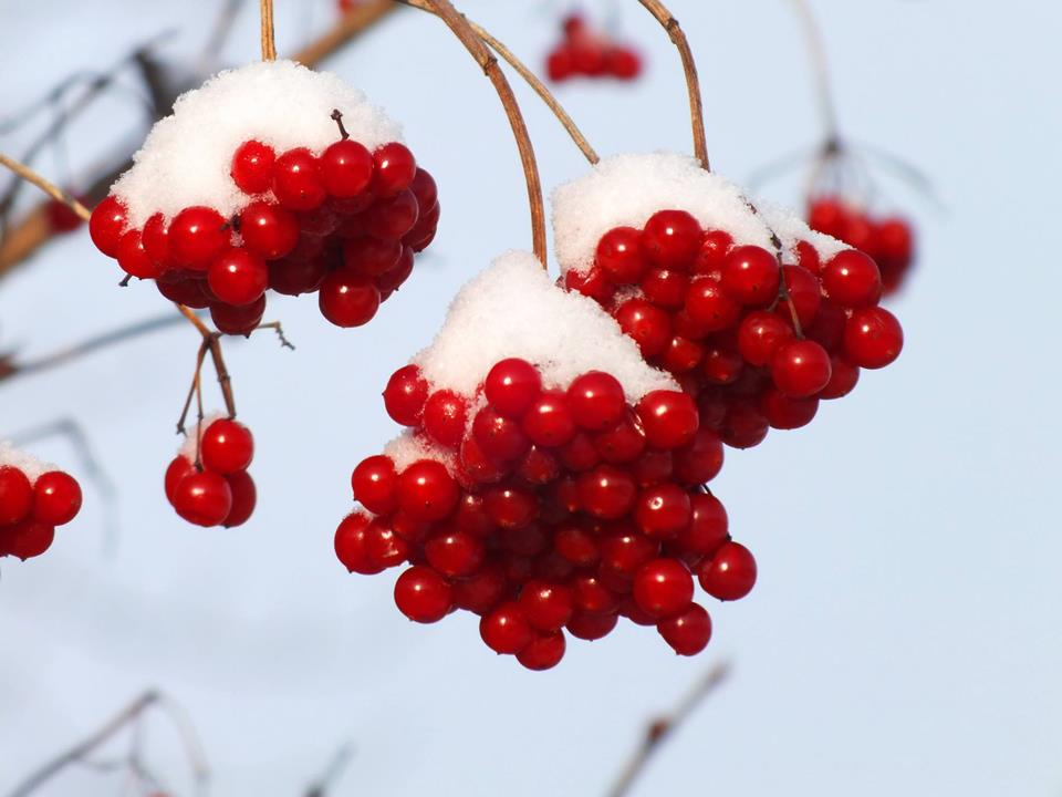 Hearts With Quotes Wallpapers Red Berries Covered In Snow Xcitefun Net