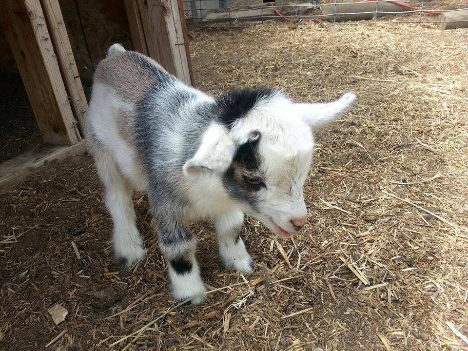 Very Cute Babies Desktop Wallpapers Lovely Baby Goat Xcitefun Net