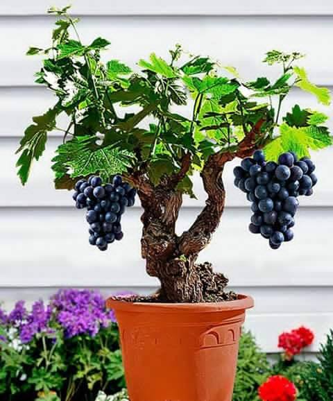 Palm Snoeien Amazing Bonsai Tree With Fruits - Xcitefun.net