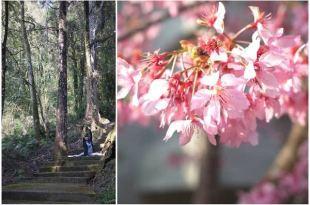 【南投。竹山】杉林溪森林,賞櫻、爬山、親子輕旅行,一次滿足!