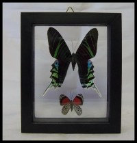 Peruvian Double Specie Butterfly Frame Wall Decor Wedding