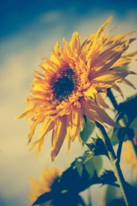 Sunflower photograph . dreamy boho wall art . yellow . floral