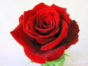Single Rose Wallpaper Hd 画像 12月15日の花と 花言葉 バラ(赤) ジンチョウゲ(沈丁花) ヤドリギ(寄生木) Naver まとめ