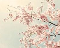 Cherry Blossom Art Cherry Blossom Photo nature by SeeLifeShine