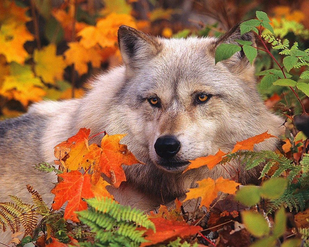 Free Fall Cat Wallpaper Gray Timber Wolf In Fall Leaves 8x10 Animal Photography