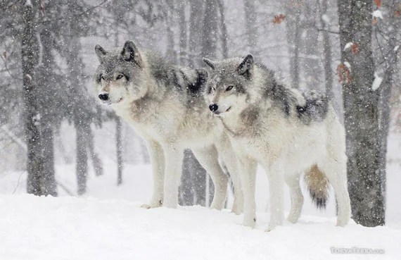 Never Back Down Quotes Wallpaper Hd Two Wolves In Snow Blizzard Woods Northern Timber Wolves Wall