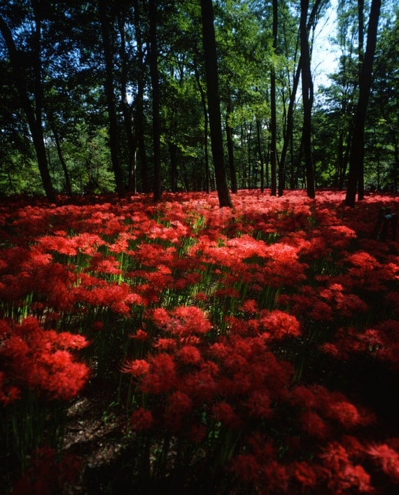 4k Laptop Wallpaper Fall Forest Japanese Forest Autumn Landscape Photography Spider Lily
