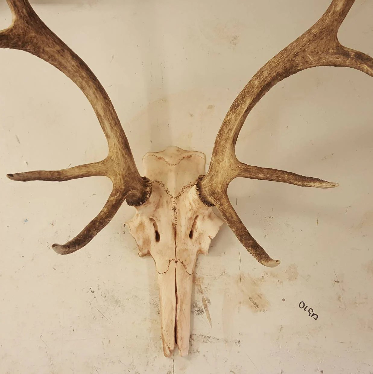 Fake Deer Skull And Antlers Stag Deer Replica Partial Skull Cap To Mount Antlers On Faux