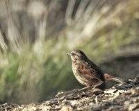 Song sparrow bird