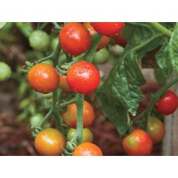 Small Crop Of Arkansas Traveler Tomato