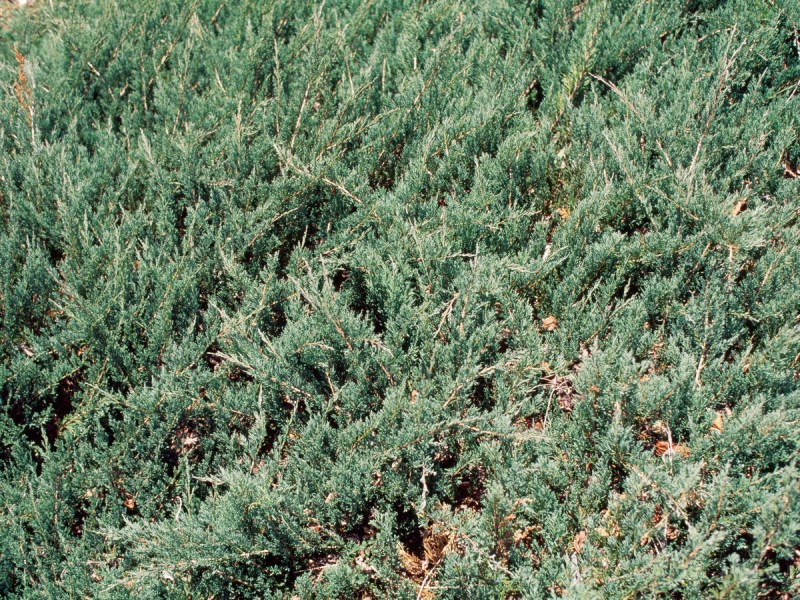 Large Of Juniper Ground Cover