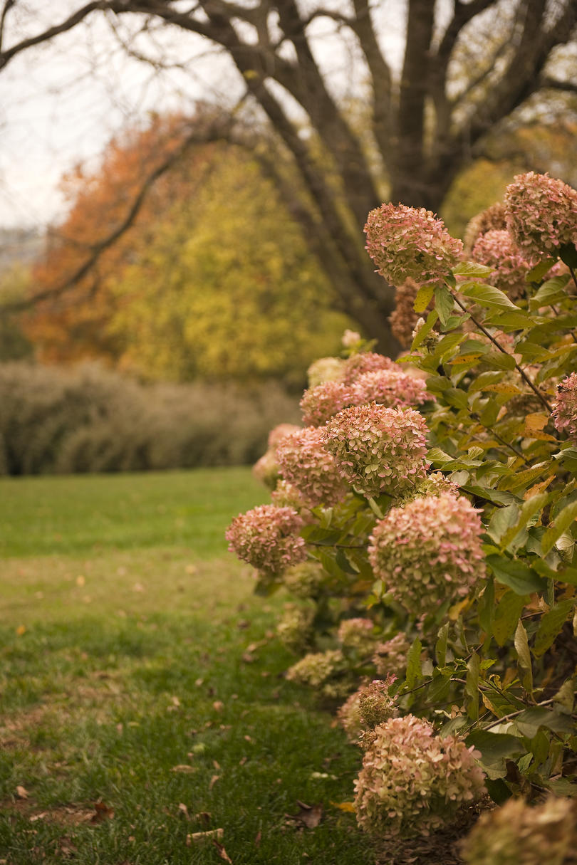 Fall Foliage Hd Wallpaper Hydrangea Care Pruning Amp Blooming Tips Southern Living