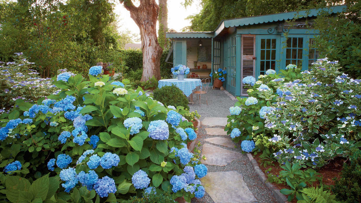 Hydrangea Didn't Flower This Year Why Didn't My Hydrangeas Bloom? - Southern Living