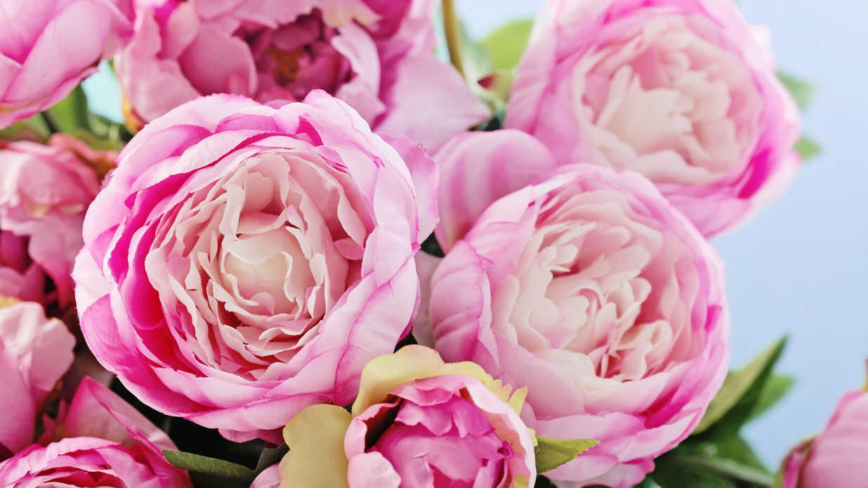 Pianese Flowers Watch Surprising Facts Every Peony Enthusiast Should Know
