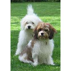 Image For Cavachon Dog Breed Standards
